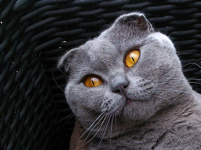 razas de gatos extrañas Gato scottish fold