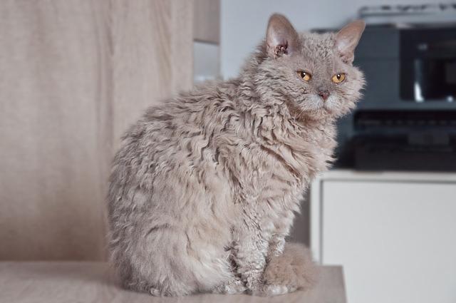 razas de gatos extrañas Gato selkirk rex