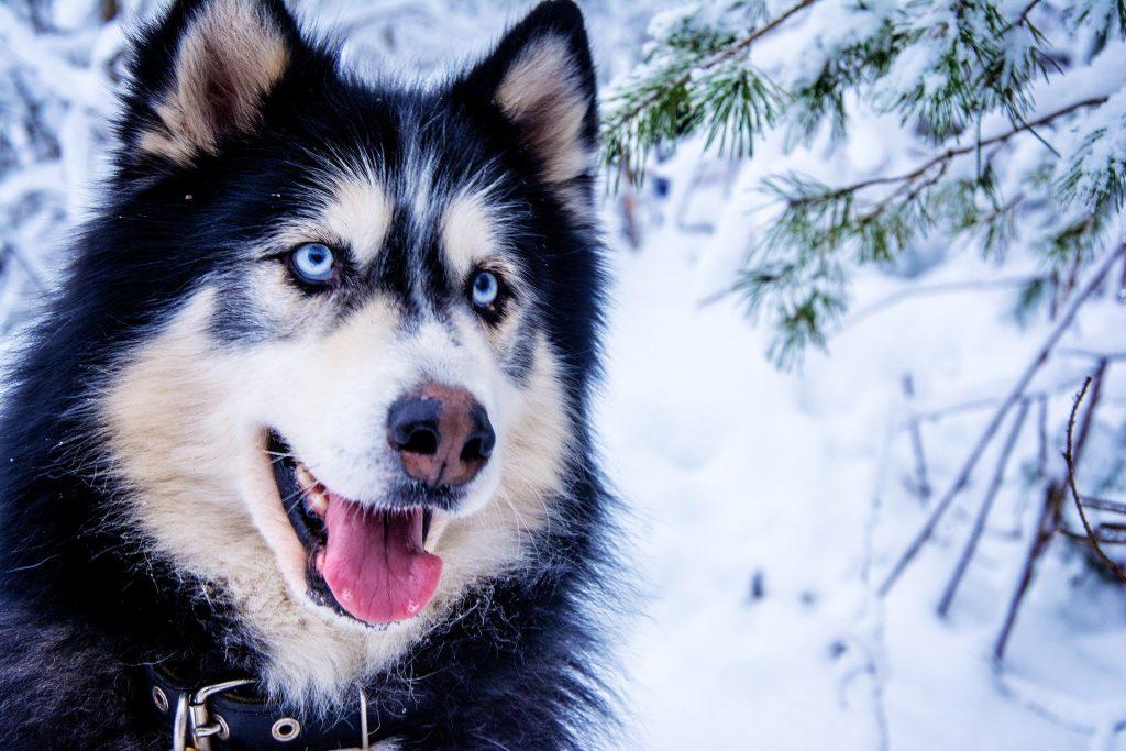 razones de la decoloración en la nariz del perro