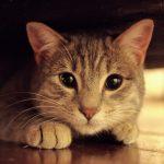 síntomas de fiebre en gatos