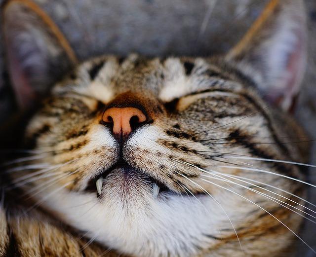 síntomas de fiebre en gatos más comunes