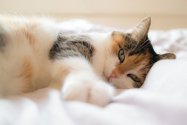 síntomas de fiebre en gatos y cuidados
