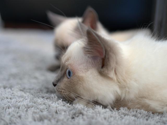 síntomas de fiebre en gatos y sus causas