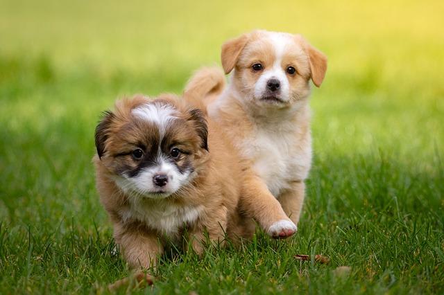 síntomas del embarazo canino o embarazo en perras
