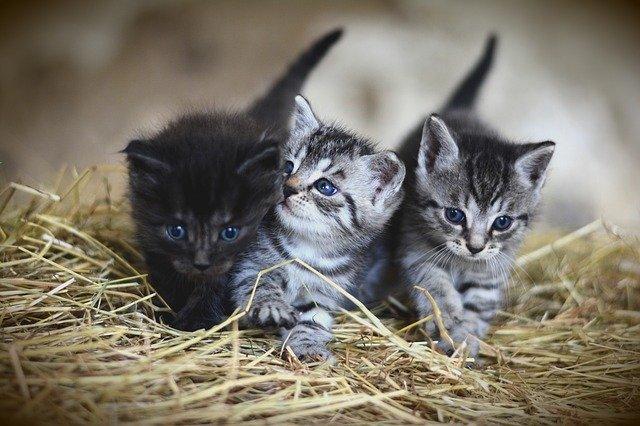 cuidar a un gato bebé