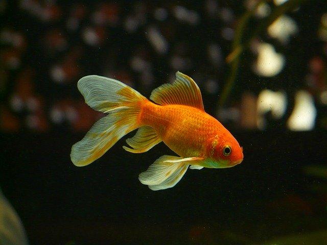 características de un pez enfermo