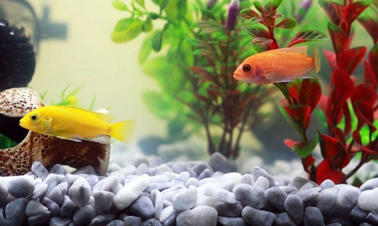 cómo diferenciar a un pez enfermo