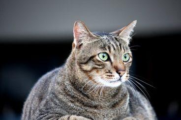 cómo evitar que tu gato esterilizado engorde