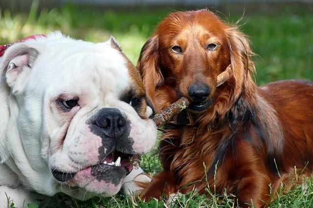 definición de perro dominante
