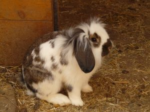 la muda de pelo en conejos