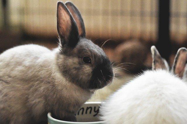 proceso de la muda de pelo en conejos