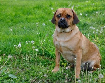 Raza de perro Puggle