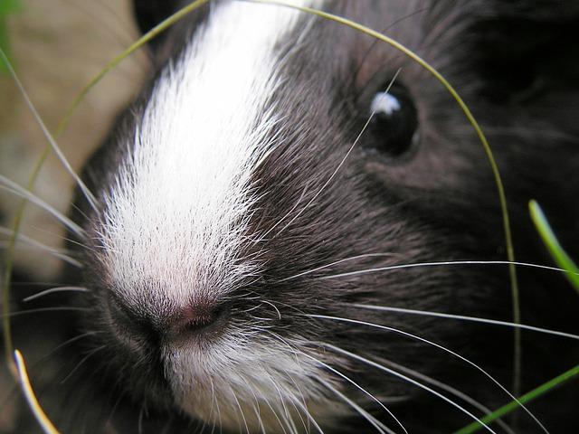 buenos hábitos para la salud de tu mascota cobaya
