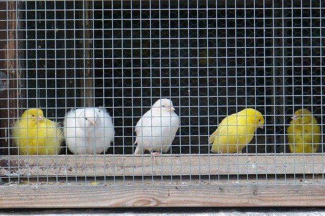consideraciones para adoptar pájaros como mascotas