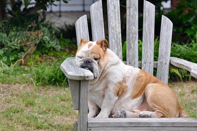 ir al veterinario si tu perro está engordando