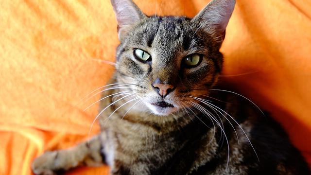 la importancia de las vacunas de los gatos
