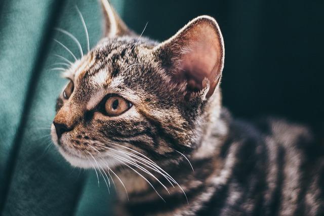 los oídos de los gatos