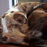 qué es la hemofilia en perros