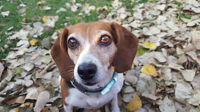 síntomas de la hemofilia en perros