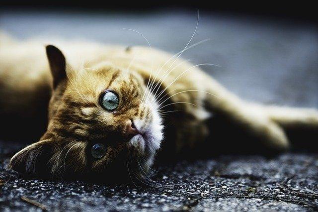 qué es la rabia en gatos