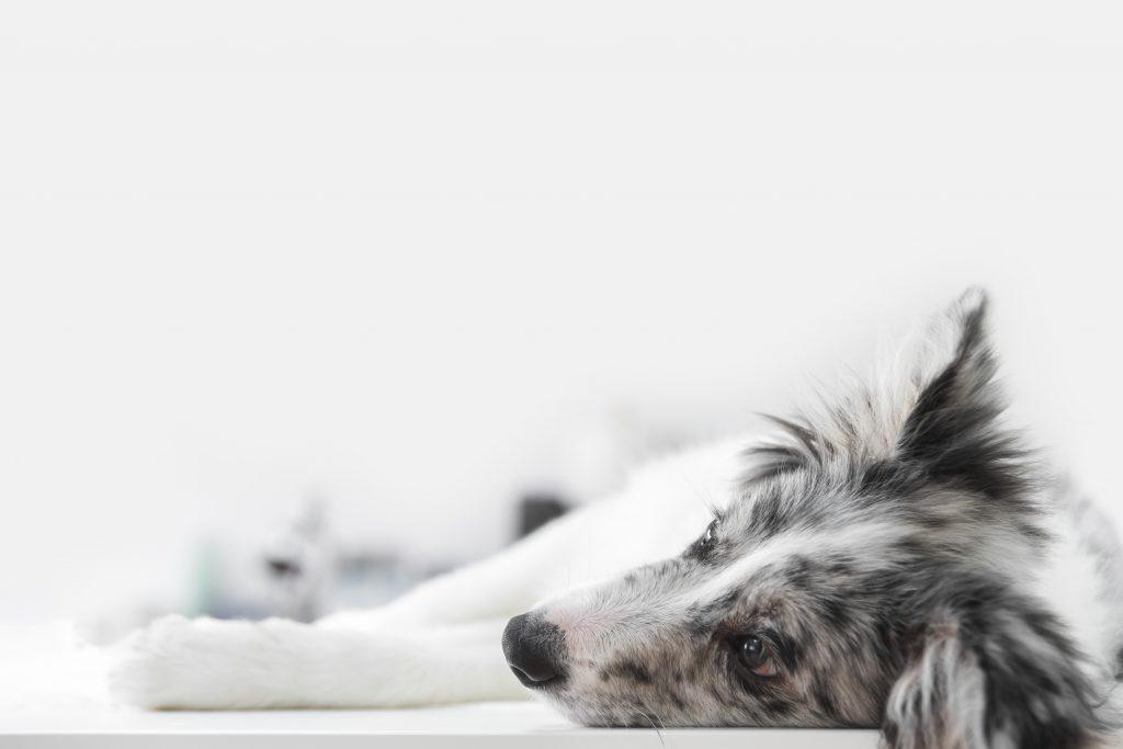 causas físicas por las que un perro tiembla