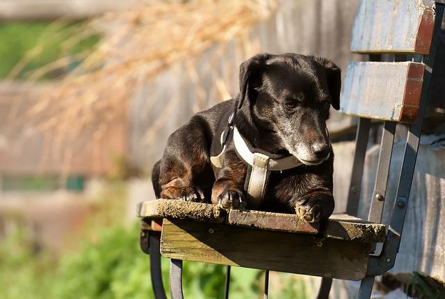 cómo ayudar a un perro con alzheimer