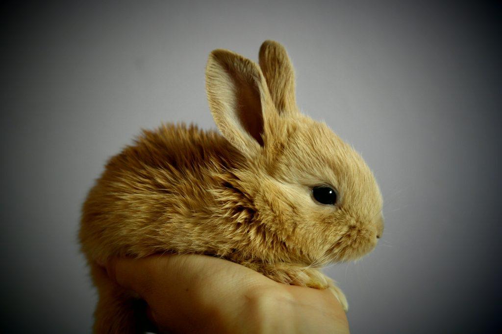 cuidados de mascotas limpiar orejas al conejo