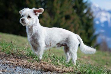 enfermedades de próstata en perros