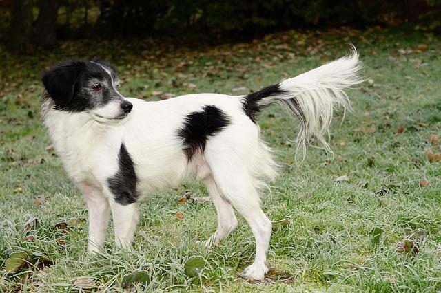 enfermedades de próstata en perros más comunes