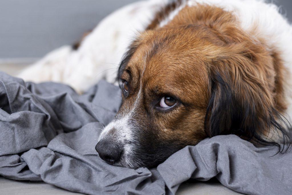 motivos por los que un perro tiembla