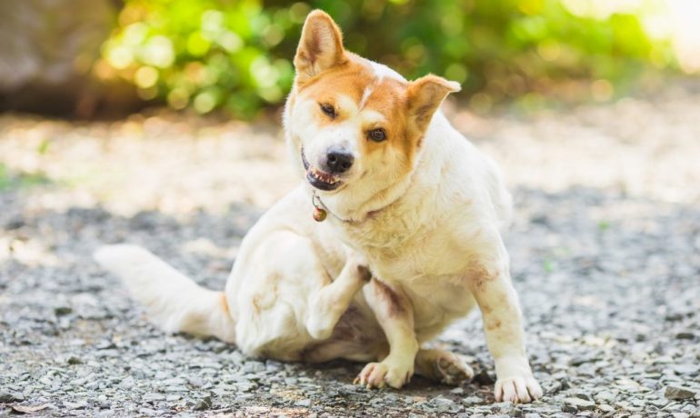 prurito canino o prurito en perros