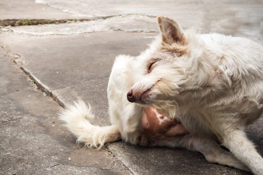 qué es el prurito canino