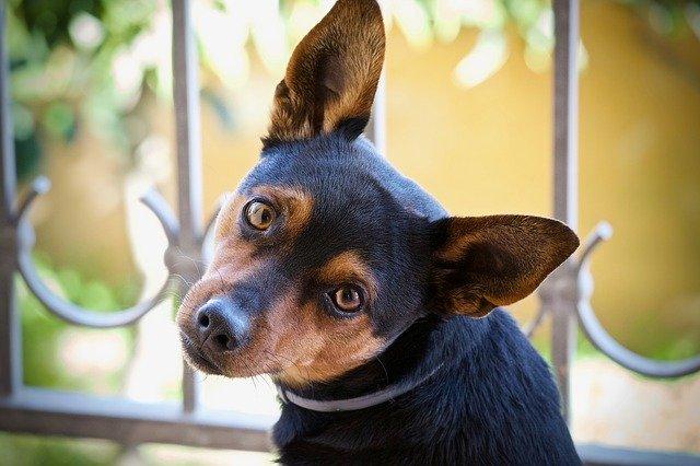 qué es el síndrome vestibular en perros