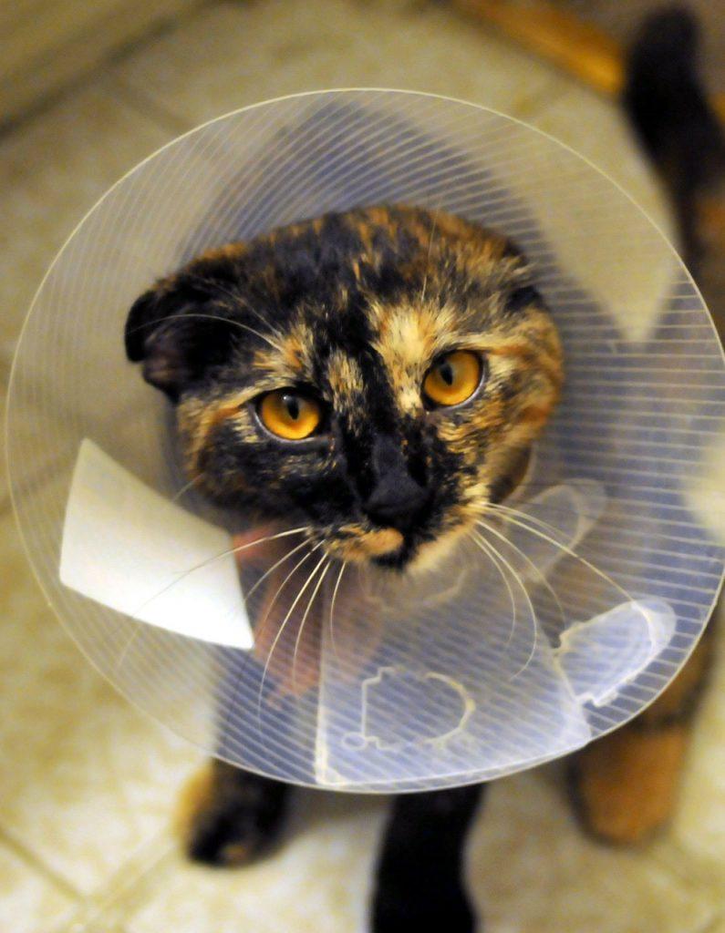 soluciones si tu gato se muerde la cola