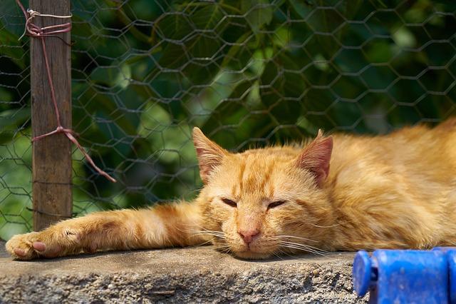 ataxia en gatos cerebelosa
