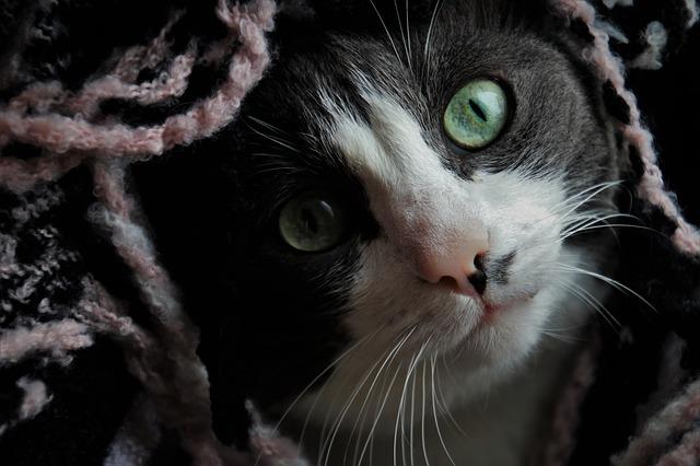 ataxia felina o ataxia en gatos