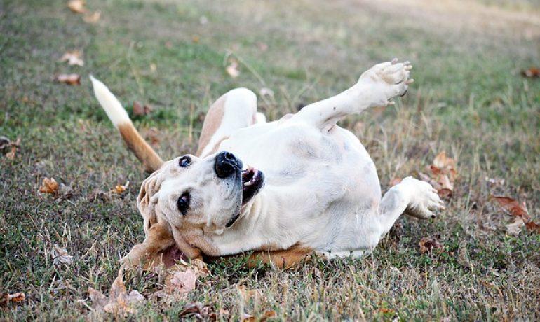 la ataxia en perros