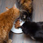 la importancia de la taurina en los gatos