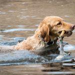 perros a los que les gusta el agua