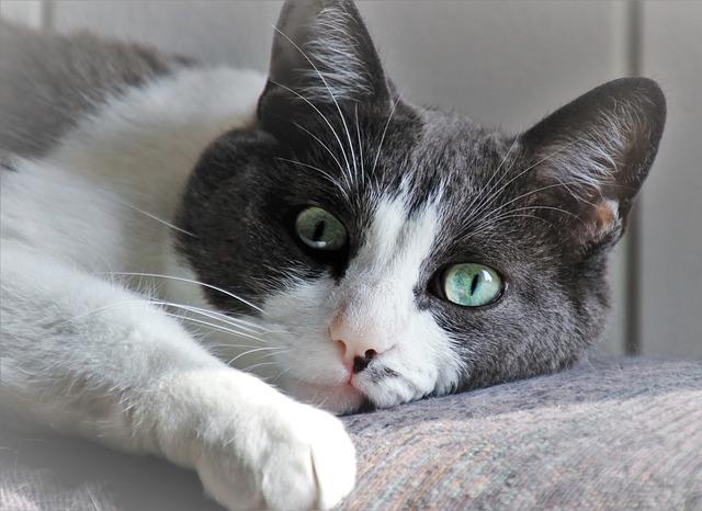 qué es la ansiedad por separación en gatos