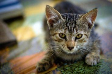 qué es la ataxia en gatos