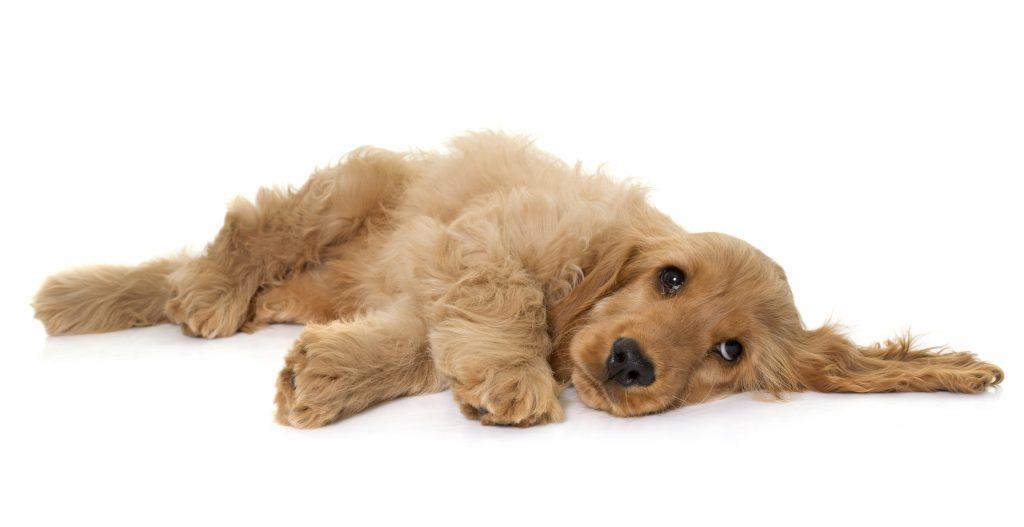 señales de la ataxia en perros