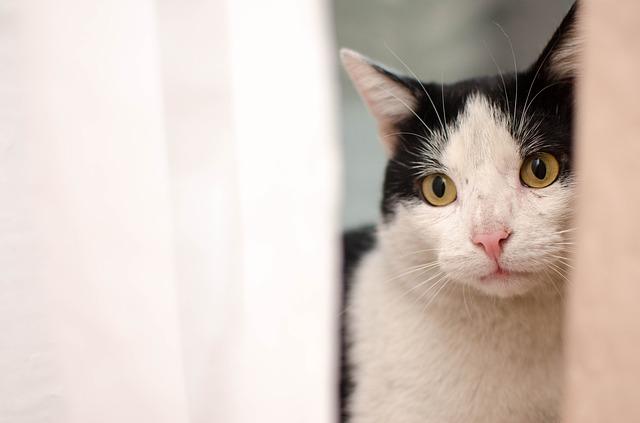 síntomas de la ataxia en gatos