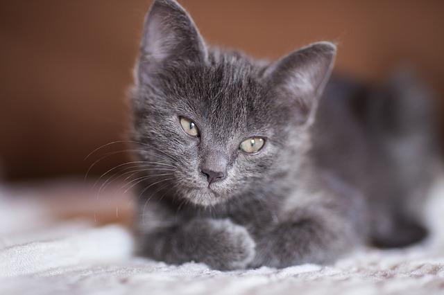tipos de ataxia en gatos