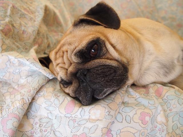 tipos de ataxia en perros