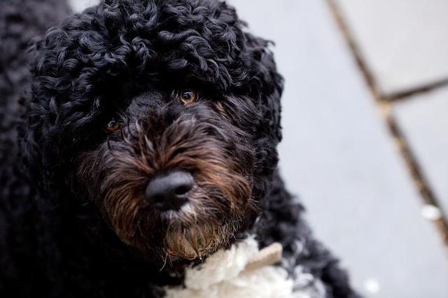 asi es el perro de agua portugués
