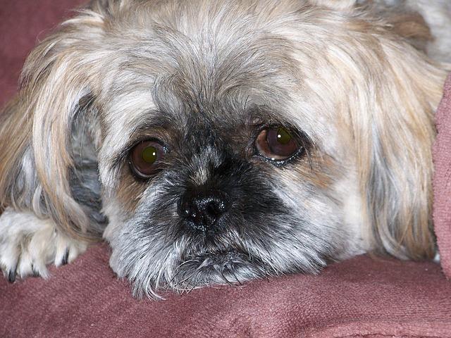 Babesiosis canina enfermedades mortales en perros
