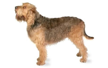 caracteristicas del Otterhound