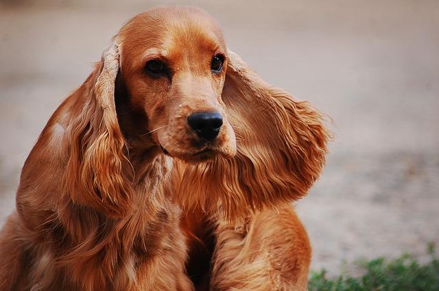 cocker spaniel razas de perros de orejas largas
