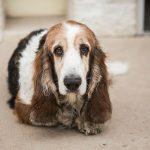 Cómo cuidar las orejas largas de un perro